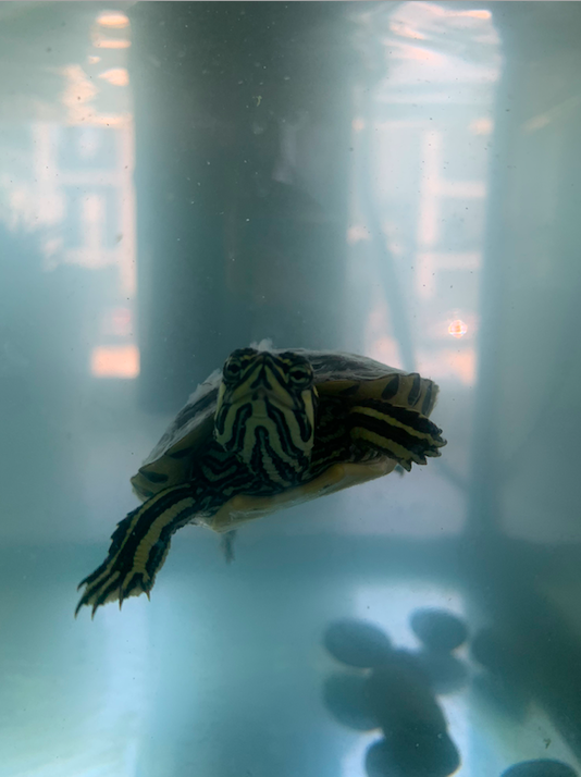 Small turtle swimming and looking through glass
